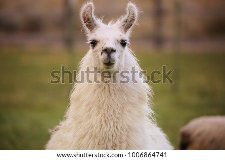 Content Grinning Llama #1006864741
