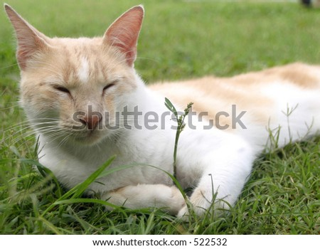 Content Tan and White Cat in grass