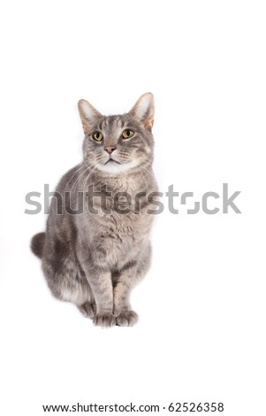 content tomcat isolated on white background for you text