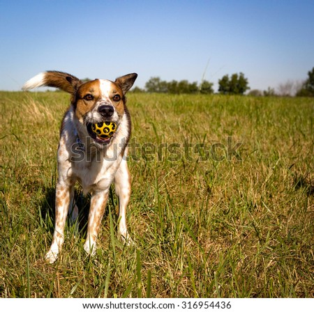 Contented cattle dog having caught yellow ball in field #316954436