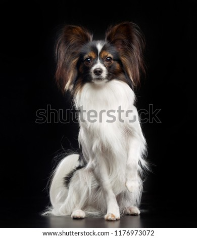 Continental toy spaniel, papillon Dog  Isolated  on Black Background in studio #1176973072