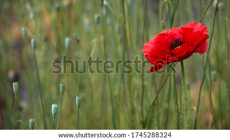 Contrast colors in poppy.The dominant red.Blood red in the brand.The flower is odorless.Poppy buds in all its glory.