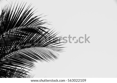 Contrasting black and white image palm tree against white background #563022109