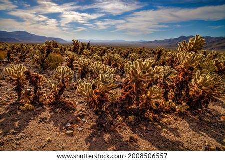 Contre-jour cholla cactus in the Mojave  Desert Photo stock ©