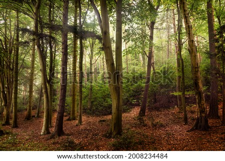 Contre-jour into a beech wood Photo stock ©