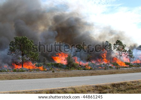 Controlled forest fire in Central Florida. Flames are well developed in this image, with brush fully engaged and pine trees in various stages of burning. Black smoke billows from the flames.