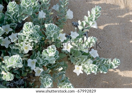 Convolvulus persicus, a flower growing on salty sand