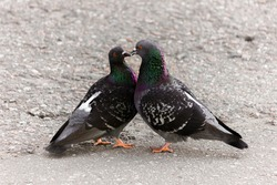 Cooing pigeons. Street love. Street pigeons are kissing.