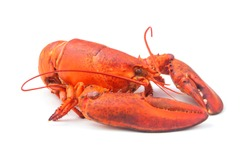 Cooked lobster isolated on white background, American lobster (Homarus americanus)