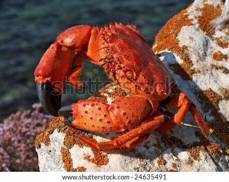 Stone Crab Illustratio...