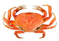 Cooked whole dungeness crab with natural marks on the shell and isolated on white background