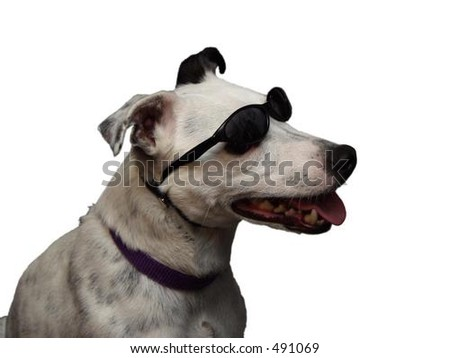 cool dog with sunglasses