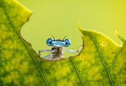 Cool funny macro image of a dragonfly on a leaf. Natural background and close up portrait of dragonfly with big eyes.