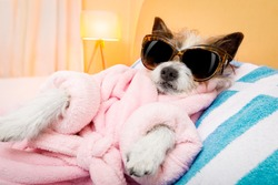 cool funny  poodle dog resting and relaxing in   spa wellness salon center ,wearing a  bathrobe and fancy sunglasses