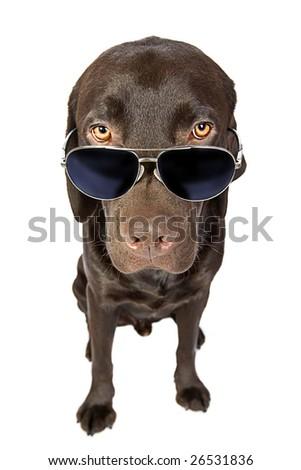 Cool Labrador in Sunglasses