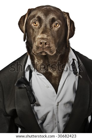 Cool Looking Labrador in Tuxedo - Top Dog