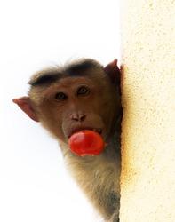 Cool photo. Monkey with stolen tomato in teeth looks around corner. Ironic caption: no, I didn't kipe tomato!