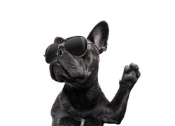 cool trendy posing french bulldog with sunglasses looking up like a model , isolated on white background, with paw high five