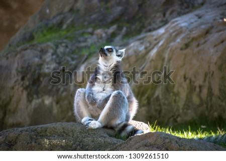 cool young cat lemur, Madagascar Lemur catta.