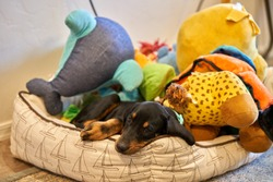 Coonhound Puppy sleeping on pillow with toys