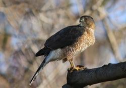 Cooper's hawk feeding