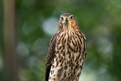 Cooper's Hawk Gives Menacing Look At Camera