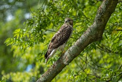 Cooper's Hawk in a tree on a branch
