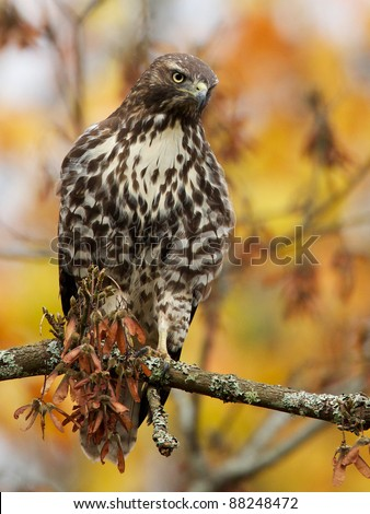 Cooper's Hawk in an Autumn Maple Tree
