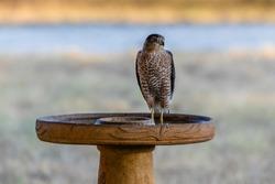 Cooper's Hawk standing in the bird bath