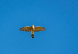 Coopers Hawk flying over wildlife sanctuary in Rome Georgia.
