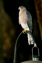 coopers hawk perched on bird feeder