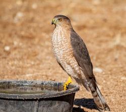 Coopers hawk sitting on a water bowl in my backyard near Tucson, Arizona.