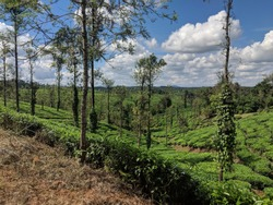 Coorg, India. Tea plantations and landscapes or Karnataka. Hillstation in India. South