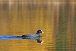 Coot floating on the water gold,spring, migratory birds, birds, forest, lake mood
