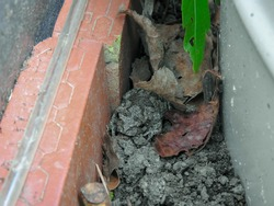 Copes Gray Tree Frog Camouflaged in Dirt