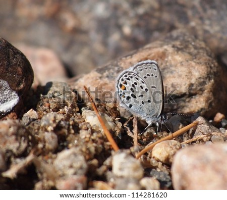 copper-butterfly in the rocks