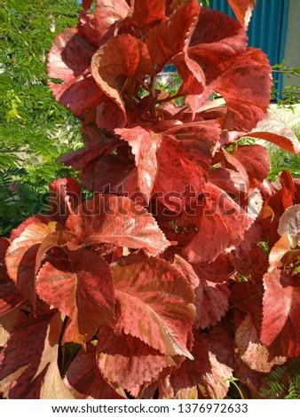 Red Leaf Acalypha Wilkesiana Images And Stock Photos Avopixcom