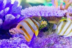 Copperband Butterflyfish (Chelmon rostratus)
