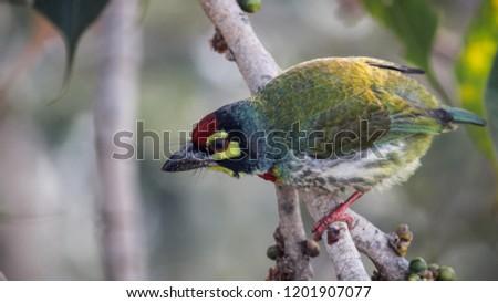 coppersmith barbet bird #1201907077