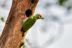 Coppersmith barbet drilling a hole into a tree