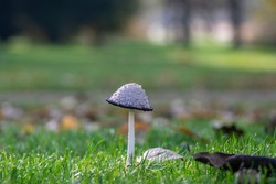 Coprinus comatus shaggy ink cap white gray mushroom growing in the lawn in the park, autumnal season, early morning on the meadow