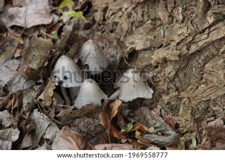Coprinus comatus, the shaggy ink cap, lawyer's wig, or shaggy mane in botanic garden Stock photo ©