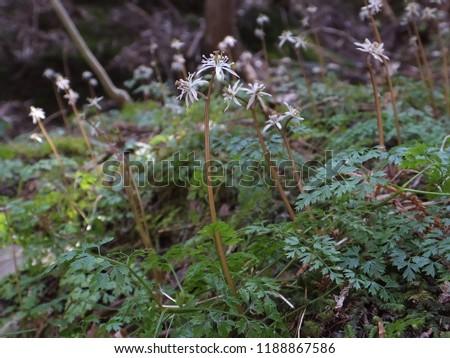 Coptis japonia var. japonica (Ko-seriba-ouren) flowers Zdjęcia stock ©