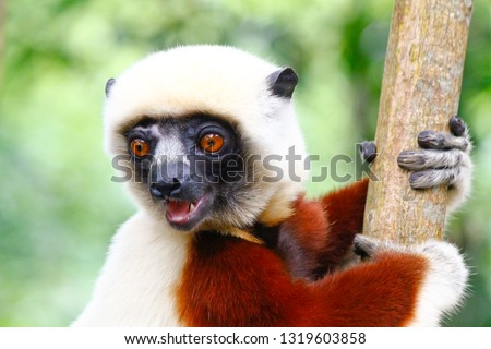 Coquerel's Sifaka Lemur in the Anjajavy Forest of Madagascar