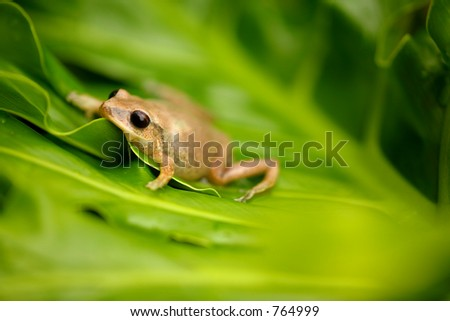 Coqui Native frogg from Puerto Rico 03