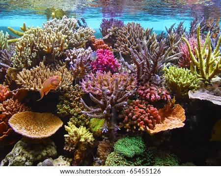coral aquarium fish