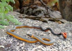 Coral-bellied Ringneck Snake (intergrade), Diadophis punctatus pulchellus