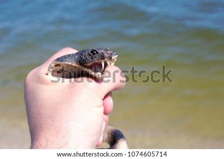 Stock Photo coral cobra in hand danger fear bared ogressia water river sea ocean nature wild life yellow green brown black white
