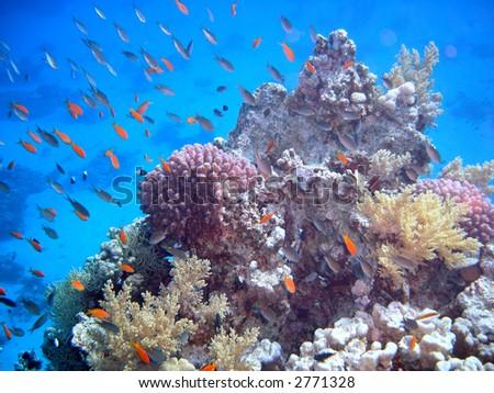 Coral colony. Red Sea
