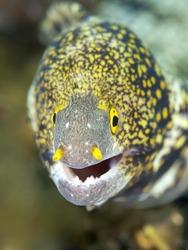 Coral fish Snowflake moray